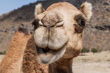 Head Of A Camel At Wadi Dharba...