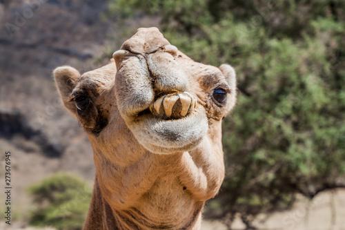 Spoed Fotobehang Kameel Detail of a camel at Wadi Dharbat near Salalah, Oman