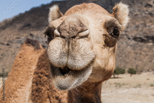Photo sur Aluminium Chameau Head of a camel at Wadi Dharbat near Salalah, Oman