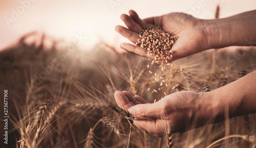man pours wheat in hand to hand on the background of a wheat field Canvas Print