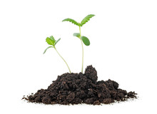 Cannabis Sprouts In Soil Humus...