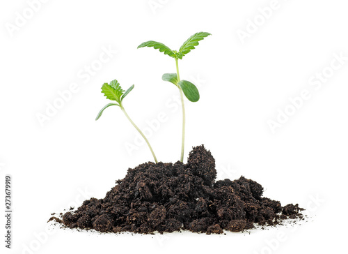 Foto Cannabis sprouts in soil humus, white background