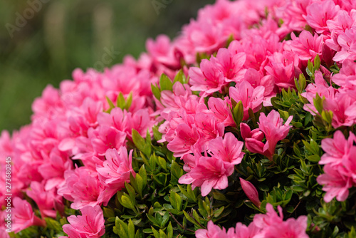 Pink azalea flower, in full bloom, Rhododendron - 273680345