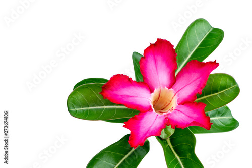Adenium or desert rose flower is medicinal herbs. (Impala Lily, Mock Azalea, Pink adenium). Isolated white background. (clipping path).