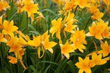Branch Of Flower Hemerocallis Lilioasphodelus (also Called Lemon Lily, Yellow Daylily, Hemerocallis Flava).