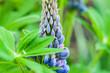 Leinwandbild Motiv closeup macro shot of vibrant purple Lupine flowers