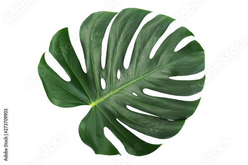 Poster Vegetal Green leaf of a tropical flower monstera isolated on white background without shadows (high details).