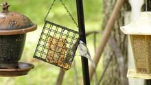 Chickadee Hanging On A Suet Fe...