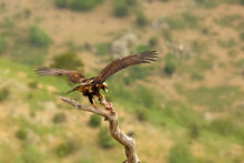 The Spanish Imperial Eagle (Aquila Adalberti), Also The Iberian Imperial , Spanish Or Adalbert's Eagle Sitting On The Branch With Prey. Imperial Eagle  With Rabitt With Mountains In The Background.