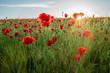 atmosphärisches, strahlendes Sonnenlicht auf blühendes Mohnblumenfeld (D, Bayern, Unterfranken, Grabfeld)
