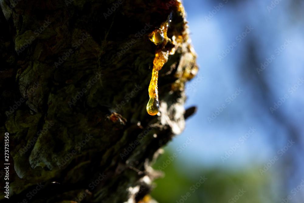Fototapety, obrazy: resina, albero, appiccicoso