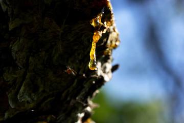 resina, albero, appiccicoso