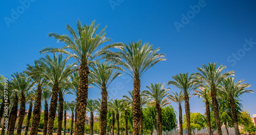 palm trees colorful park nature outdoor city square area in summer season warm and bright lighting, photography from below on vivid blue sky background