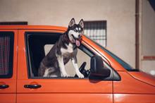 Siberian Husky Dog Pokes Its Head Out Of A Car Window.