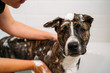 Woman Bathing her American Staffordshire Terrier or the Amstaff dog. Happiness dog taking a bubble bath.