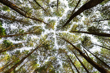 Low Angle View Of Pine Trees T...