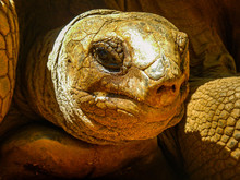 Old Tired Wrinkly Tortoise Closeup