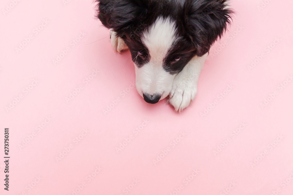 Fototapety, obrazy: Funny studio portrait of cute smilling puppy dog border collie isolated on pink pastel trendy background. New lovely member of family little dog gazing and waiting for reward. Pet care and animals