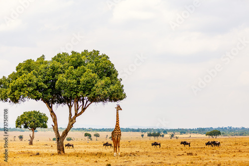 Photo  Giraffe in safari park