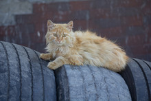 Homeless Red Cat Lying On The ...