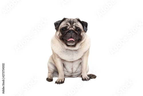 adorable cute smiling pug puppy dog sitting down with tongue out, isolated on wh Canvas Print