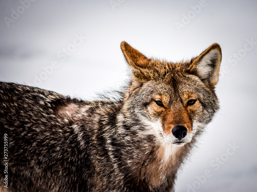 Photo  Close-up of a coyote