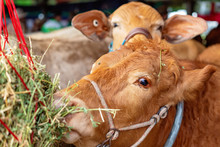Close-Up Of A Show Cow Eating