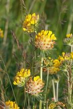 Blüten Des Echten Wundklees (Anthyllis Vulneraria, Kidneyvetch)