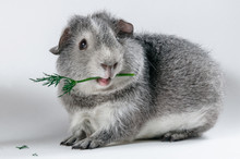 Gray Guinea Pig Eating Dill