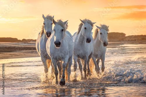 Obraz Białe konie w Camargue, Francja - fototapety do salonu
