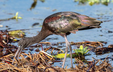 Florida Glossy Ibis Searches For Food In The Swamp