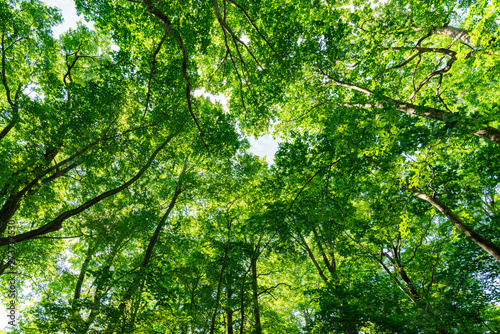 Fotobehang Aan het plafond ブナの森の空を覆うブナ林