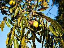 Pecan Nuts On Tree In Georgia,...
