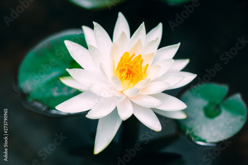 Recess Fitting Lotus flower water lily in pond