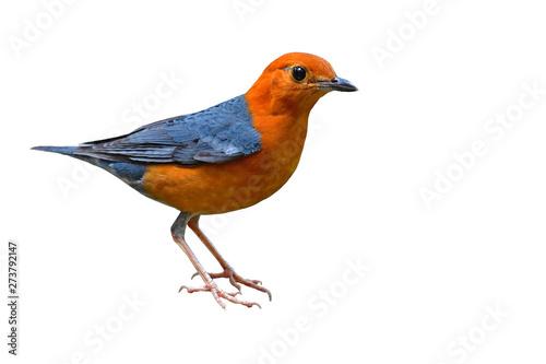 Photo  Orange headed Thrush Bird