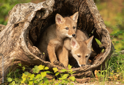 Photo Coyote pups