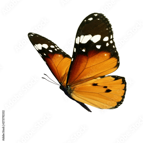 Beautiful monarch butterfly - 273792332