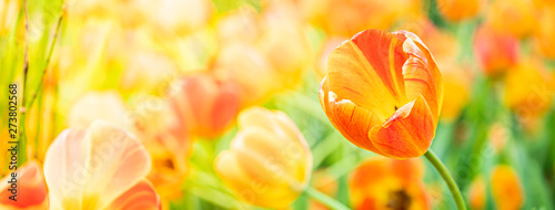 Tulips flower nature background. Canvas Print