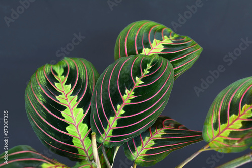 Exotic Maranta Leuconeura Fascinator plant leaves on dark blue background Wallpaper Mural