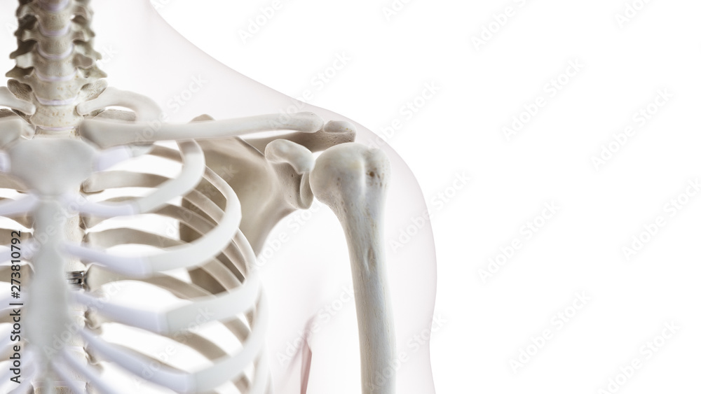 Fototapeta 3d rendered medically accurate illustration of the shoulder joint