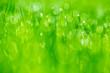 Leinwandbild Motiv On a green meadow dewdrops glisten in the morning sun. Concept natural backgrounds.