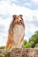 Ginger And White Rough Collie Dog Is Standing High On Rock And Watching, Smiling, Enjoying Sunny Day