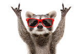 Fototapeta Zwierzęta - Portrait of a funny raccoon in red sunglasses showing a rock gesture isolated on white background