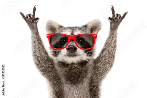 Papiers peints Magasin de musique Portrait of a funny raccoon in red sunglasses showing a rock gesture isolated on white background