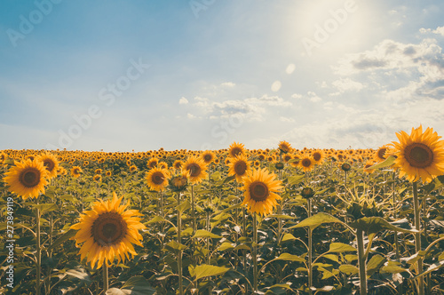 Fotografering Sunflowers in a sunny field