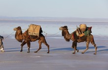 Camels Carrying Loads In Salt ...