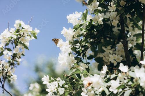 Photo  a lot of butterflies flies about jasmine bush