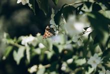 A Lot Of Butterflies Flies About Jasmine Bush
