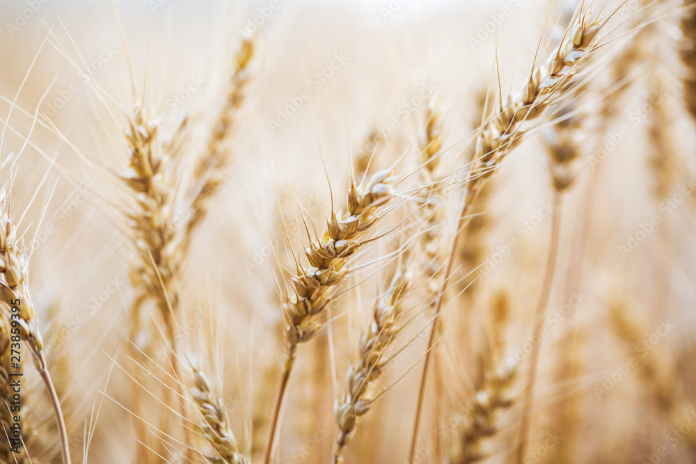 Fototapety, obrazy: Golden field of wheat . Agriculture farm and farming concept