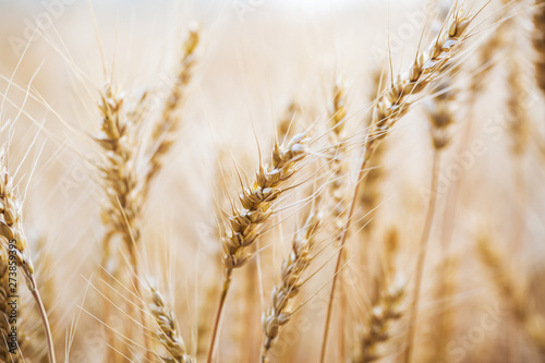 Stampa su Tela  Golden field of wheat . Agriculture farm and farming concept